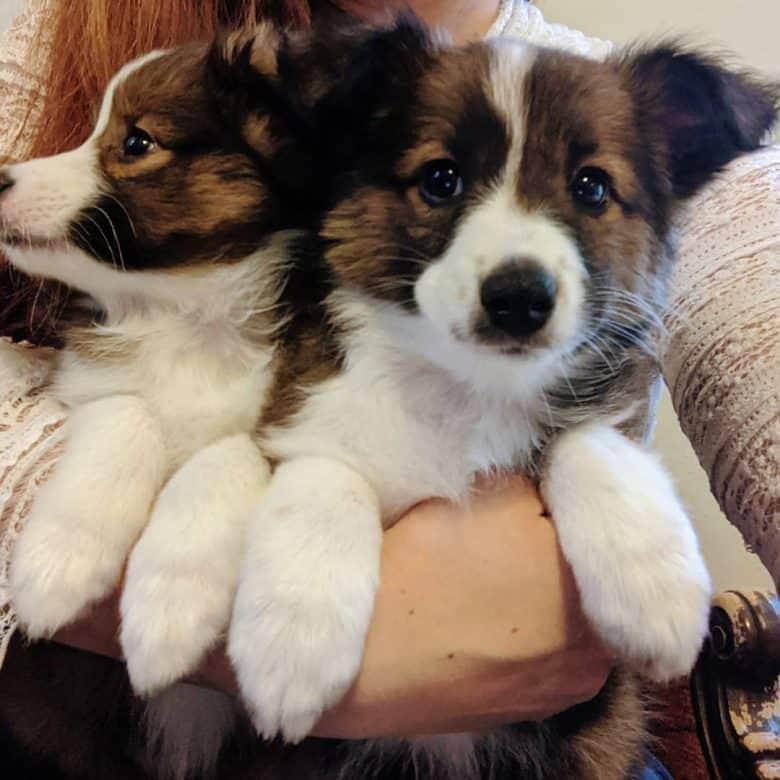 Shetland Sheepdog and Australian Shepherd mix puppies