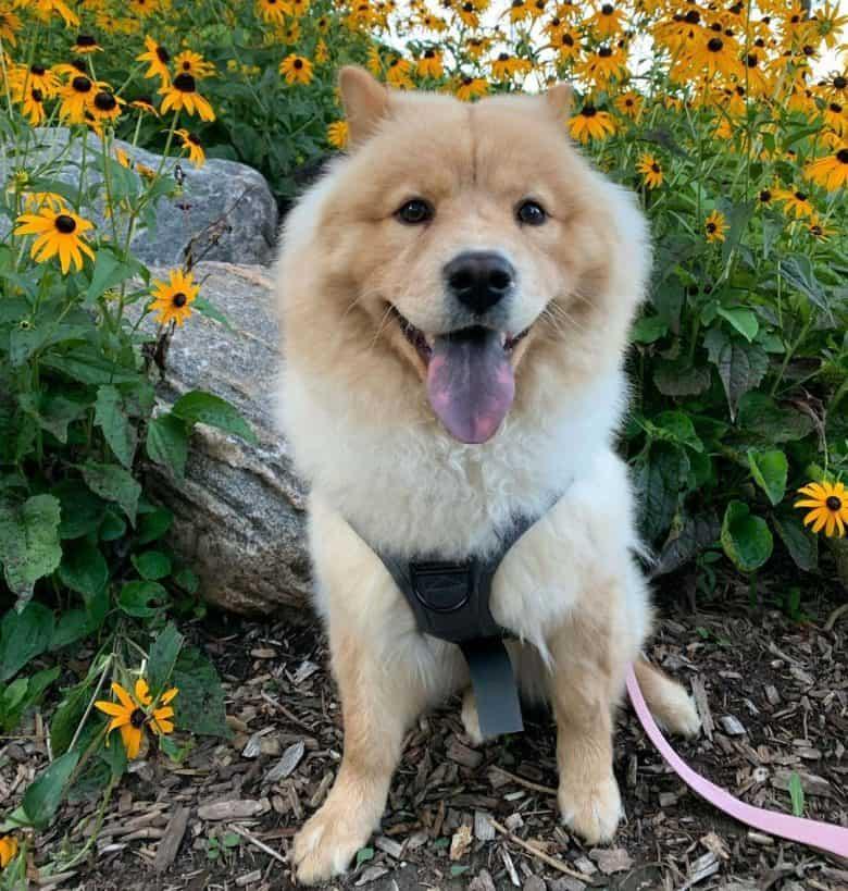 Shiba Inu Chow Chow mix dog sitting near the flowers