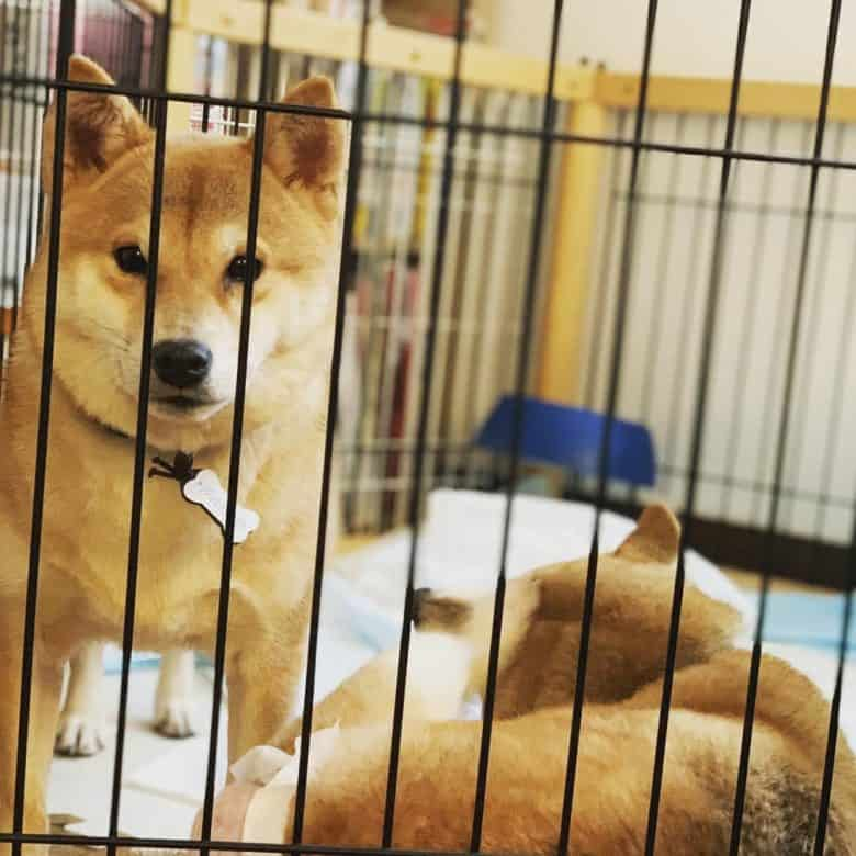 Two Shiba Inu in a shelter inside a cage