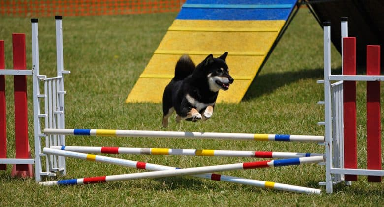 Shiba Inu leaping over a double jump obstacle