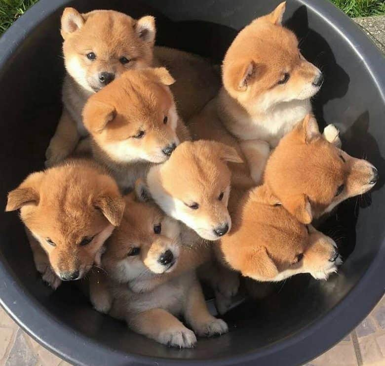 Shiba Inu puppies in a big basin