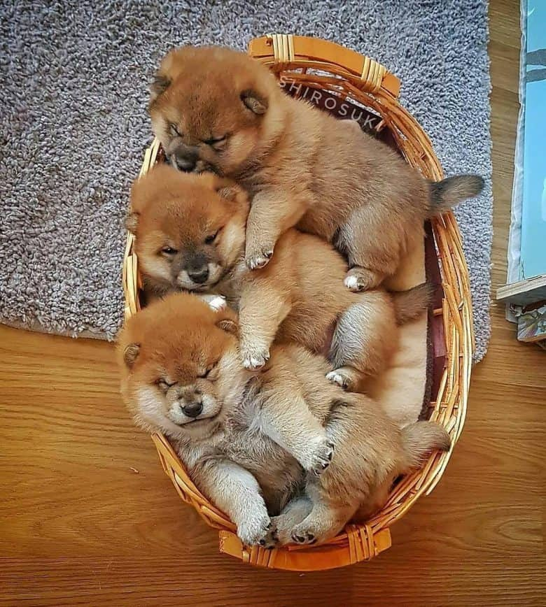 Shiba Inu puppies pile inside a wooden basket