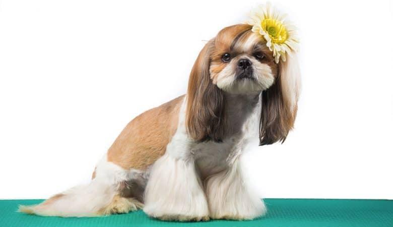 Shih Tzu dog with flared bottom hairstyle