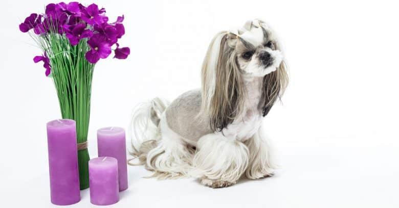 Shih Tzu dog with Japanese cut hairstyle