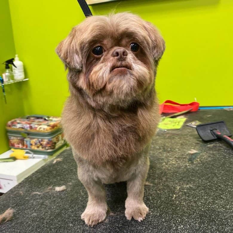 Shih Tzu dog with lion cut hairstyle