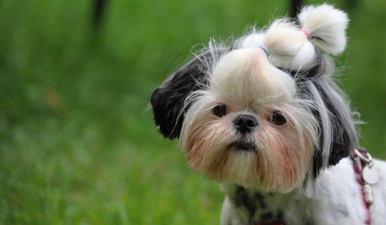 Shih Tzu dog with squared face trim hairstyle