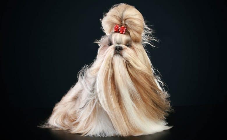 Shih Tzu dog with the top knot show haircut