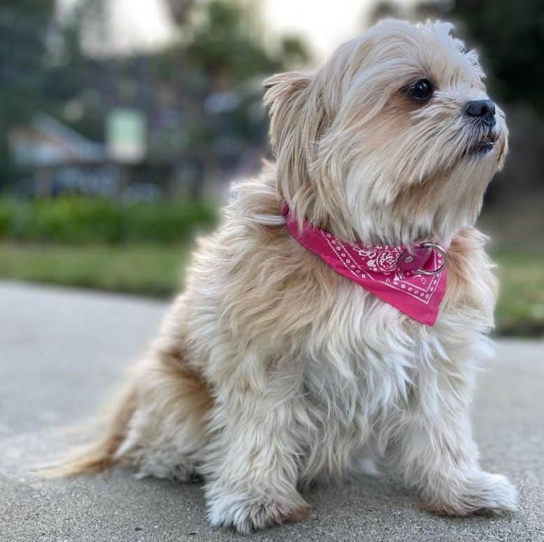 Shih Tzu Pomeranian mix sitting outside with pink bandana collar