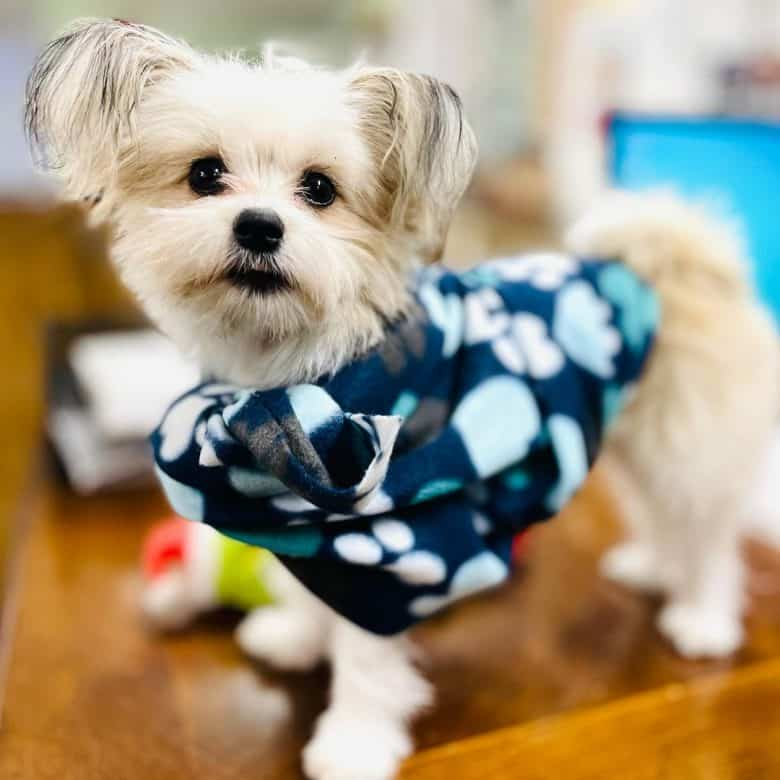 A Shih Tzu Pomeranian puppy in a blue with white dots sweater