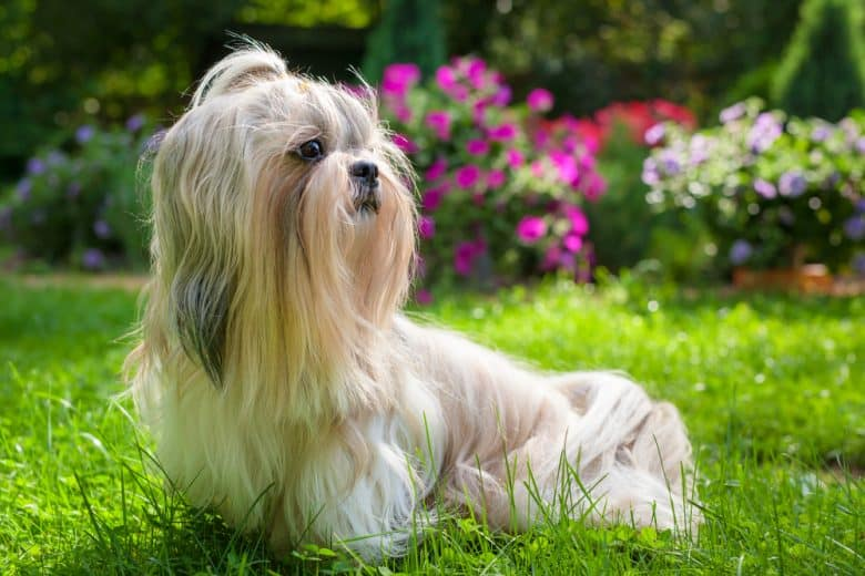a Shih Tzu in a garden with flowers looking to the left