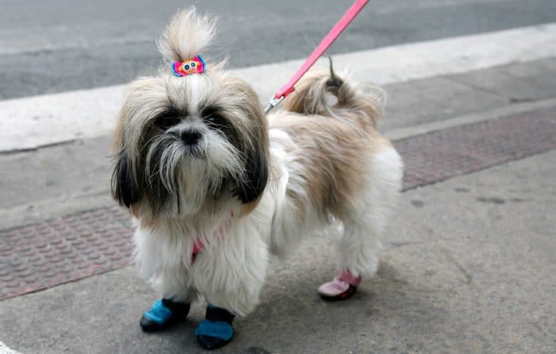 Shih Tzu dog with practical topknot hairstyle