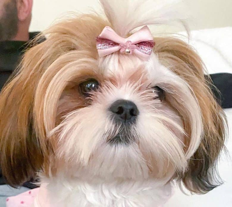 Shih Tzu dog with westie style clip haircut