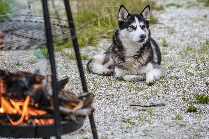 A Siberian Husky laying near a fire pit and smiling mischievously