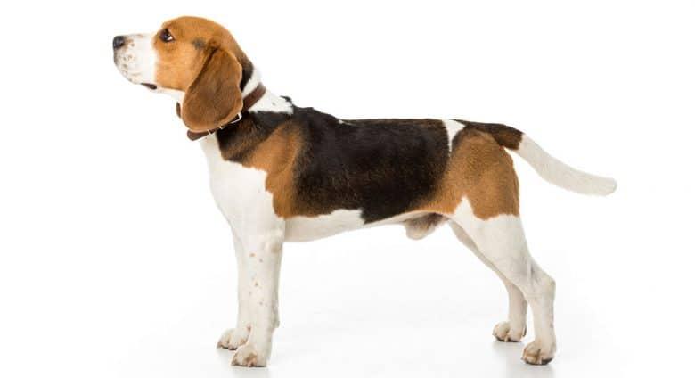 Side view of black tan white Beagle dog