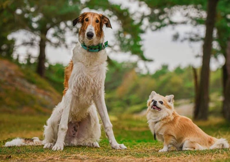 A sitting Borzoi enjoying the day with a Chihuahua friend