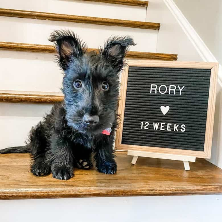 a Scottie puppy sitting and celebrating its 12 weeks