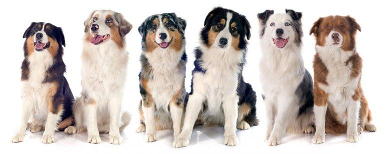 Six adorable Australian Shepherd dogs