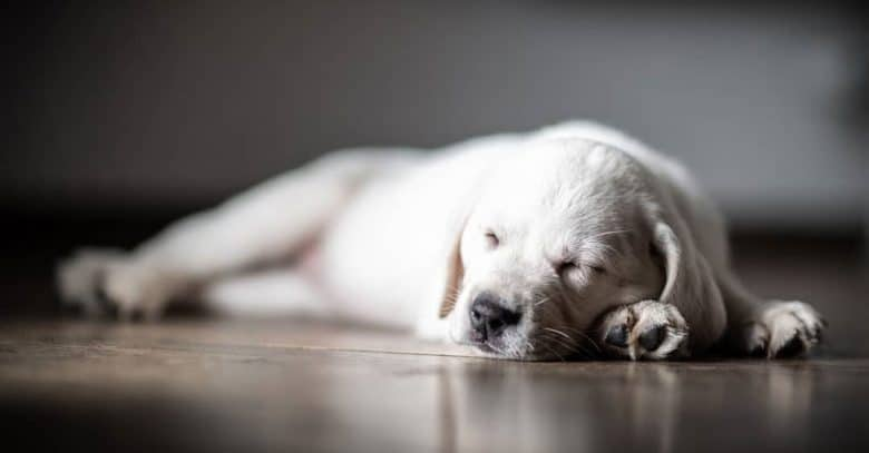 Sleeping Labrador Retriever puppy