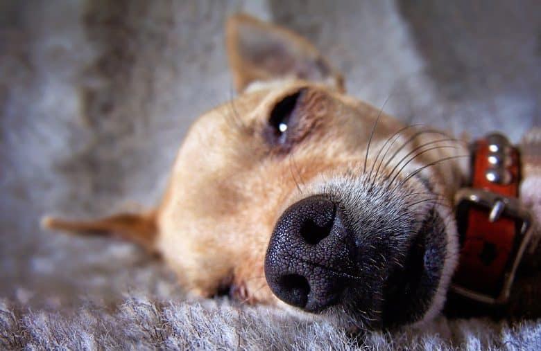 A sick Chihuahua dog