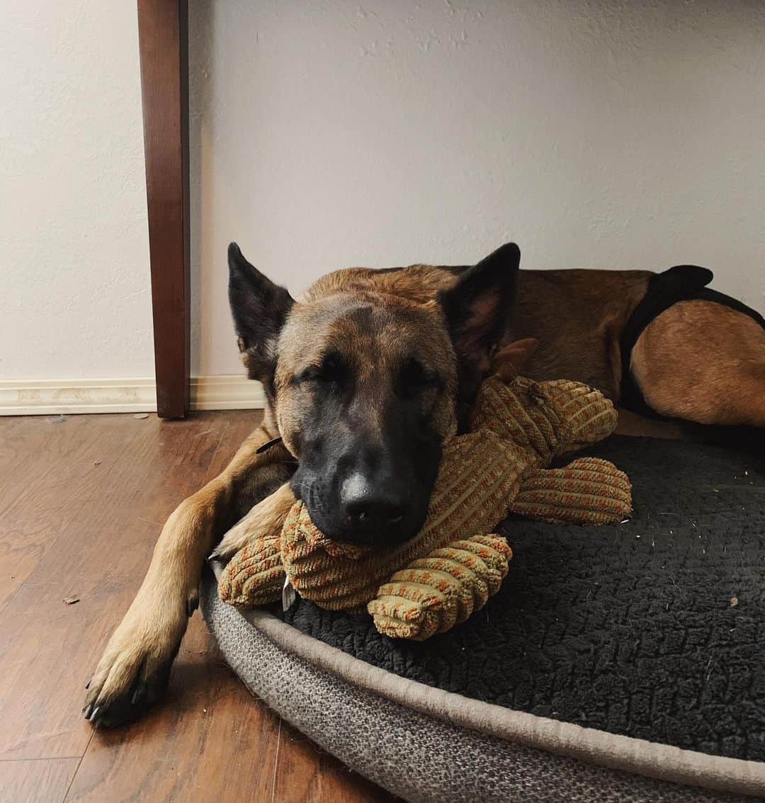The Belgian Malinois German Shepherd mix sleeping with its teddy