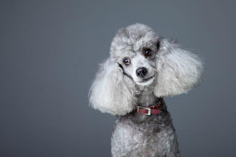 A portrait of a gray Poodle
