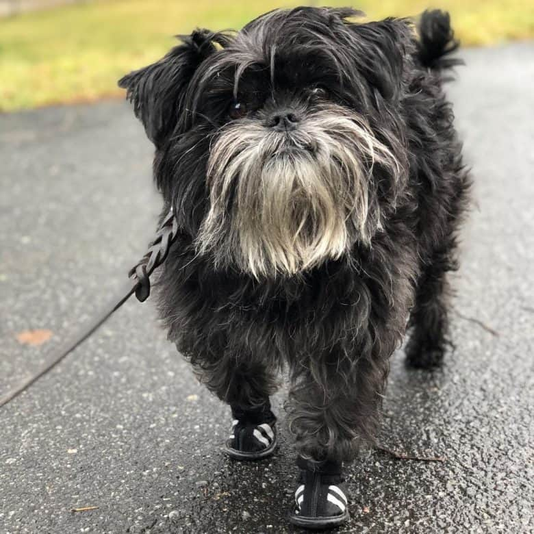 a cheery and smiling Affenpinscher wearing new shoes