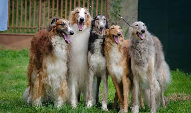 Group of smiling Borzoi with different coats