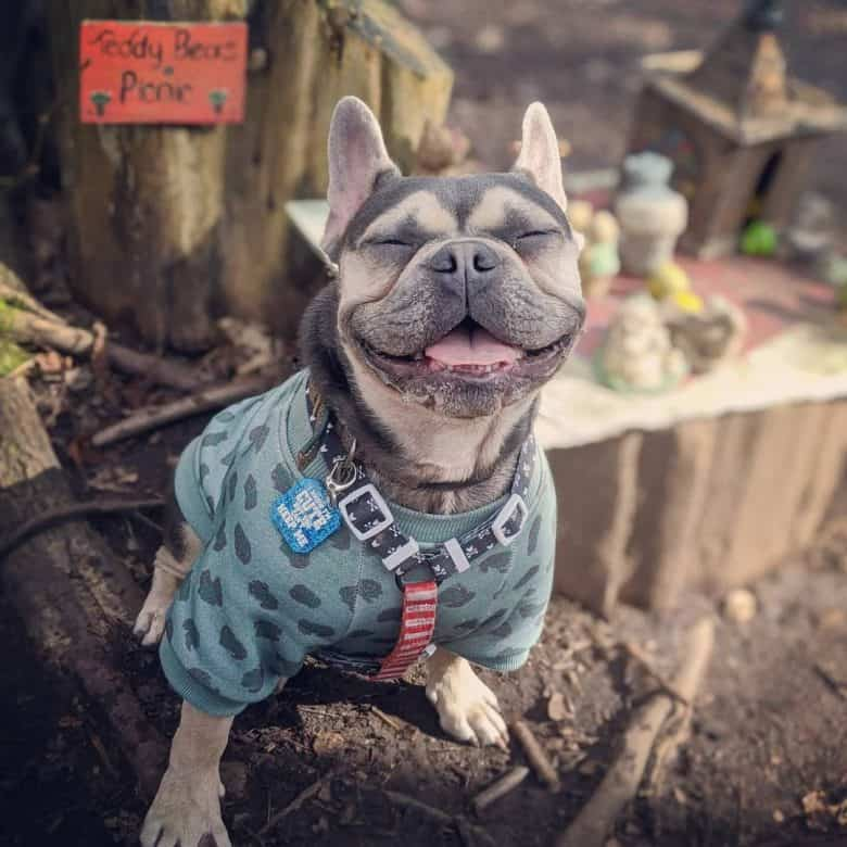a smiling and looking cute French Bulldog sitting