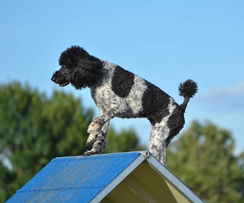 A Standard Poodle doing tricks on an a-frame
