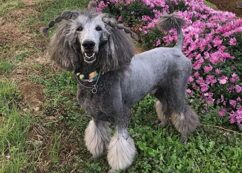 Silver Standard Poodle smiling with Chrysanthemum and Watercress background