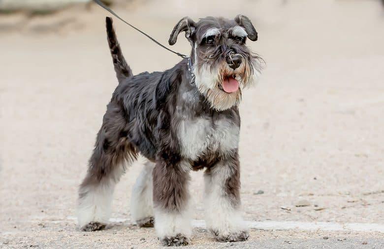 Purebred Standard Schnauzer dog