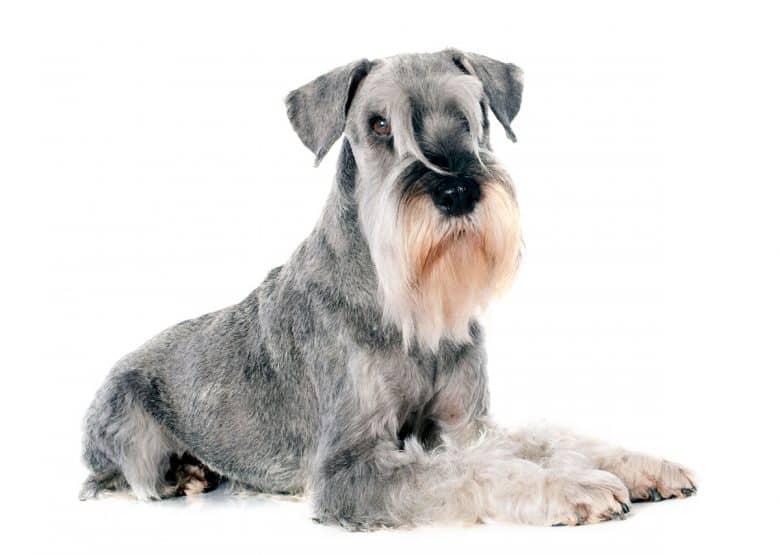 Standard Schnauzer dog portrait