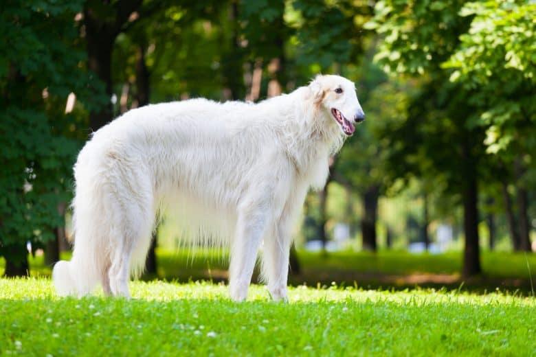 A stark white Borzoi standing on the grass under the sun