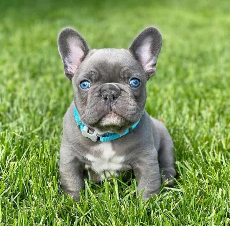 A Teacup French Bulldog puppy sitting on grass