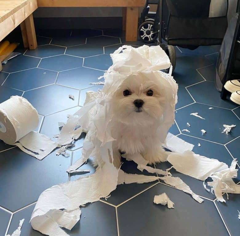 Teacup Maltese dog playing with the tissue