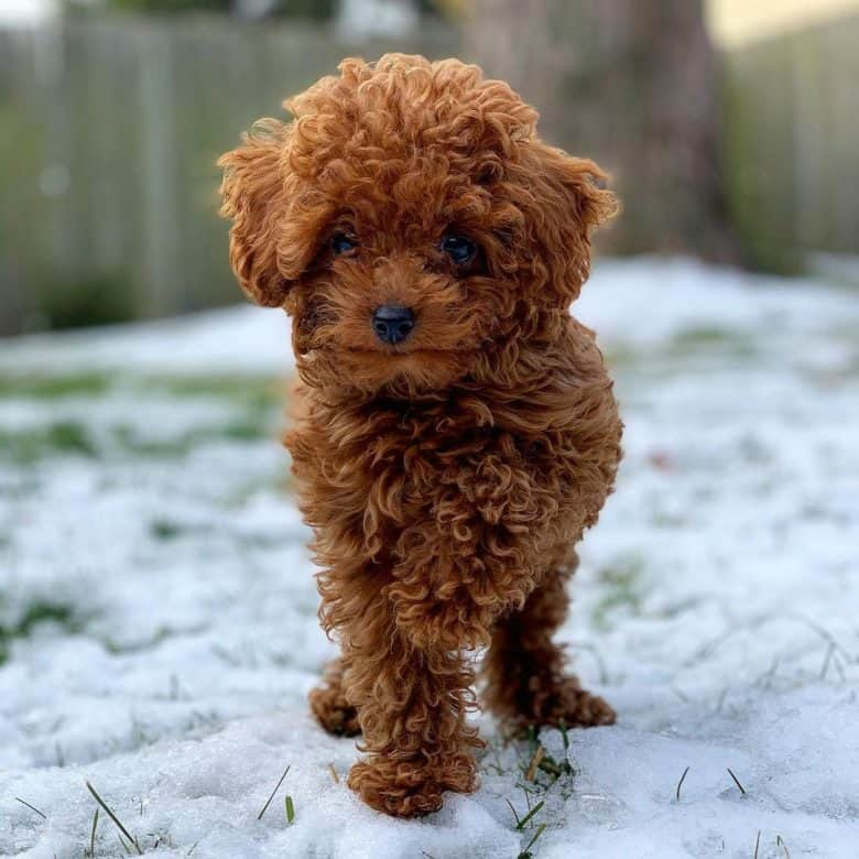 A brown Teacup Poodle on snow with one front paw up
