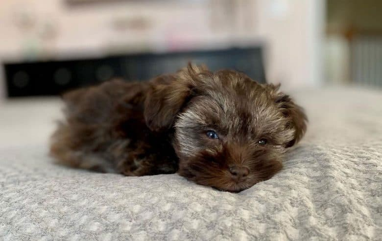 Teacup Schnauzer lying on the bed