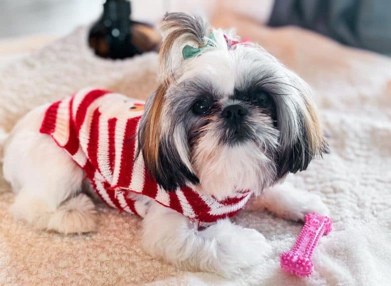 A Teacup Shih Tzu wearing Christmas sweater and a ponytail