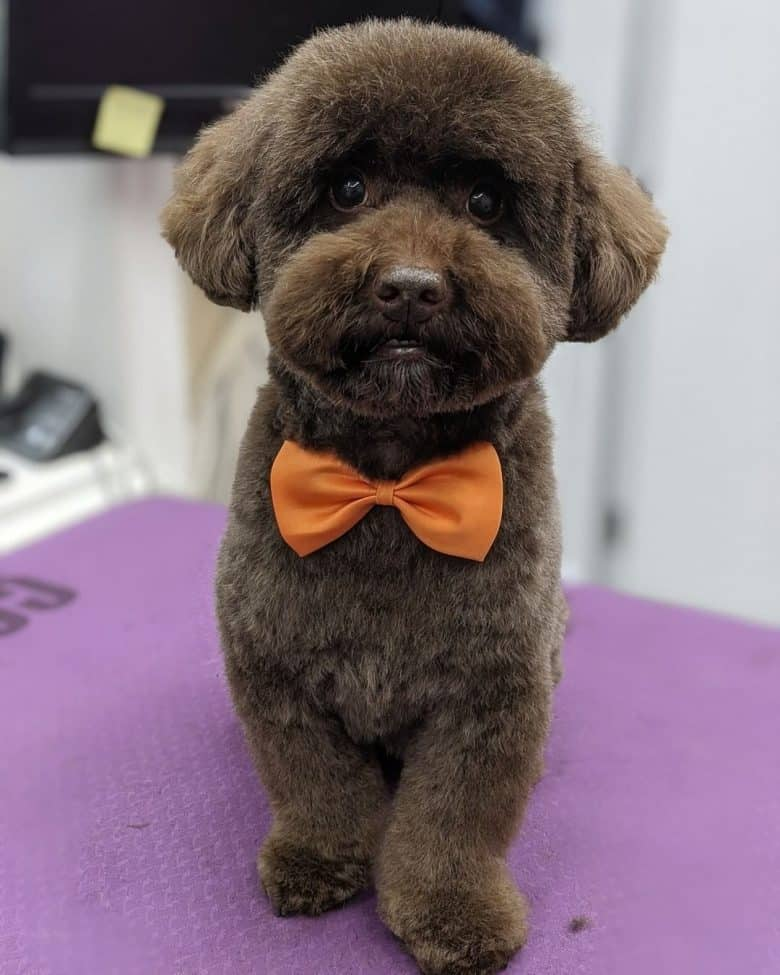 A brown Poodle wearing an orange bow tie after having a Teddy Bear Cut