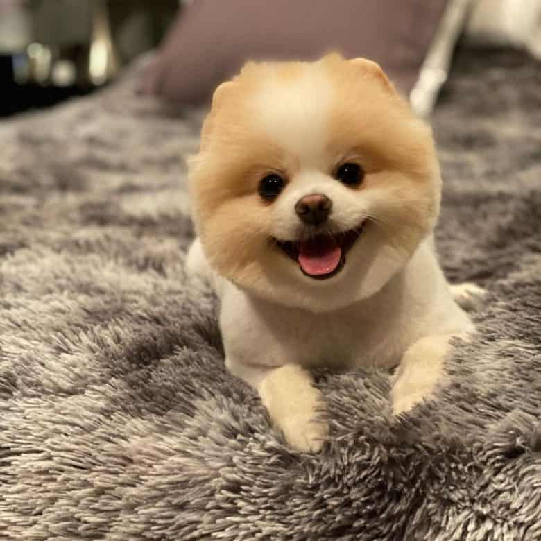 A Teddy Bear Pomeranian smiling and laying on a soft rug