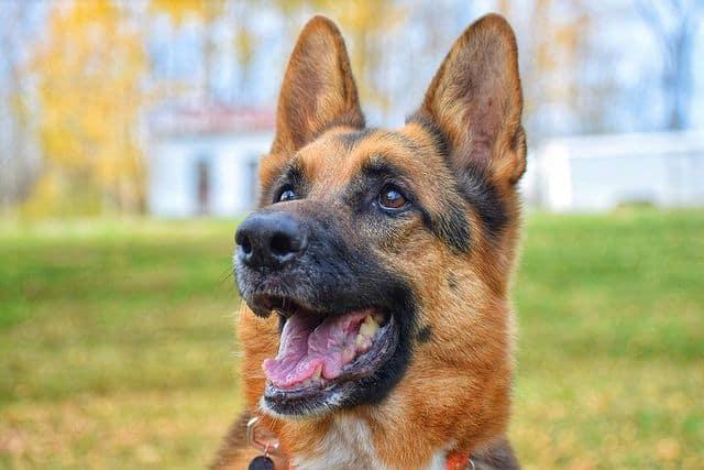 10-year old cheerful German Shepherd