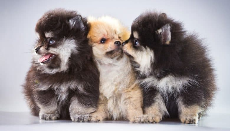 Three adorable Pomeranian puppies