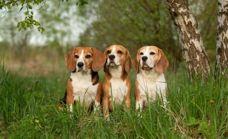 Three Beagle dogs sitting in the nature