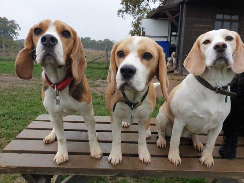 Three Beagle dogs at the top of the wooden bench