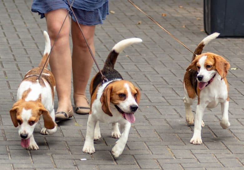 Group of Beagle dogs walking on the street