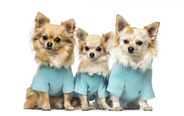 Three cute Chihuahua dongs with their dress