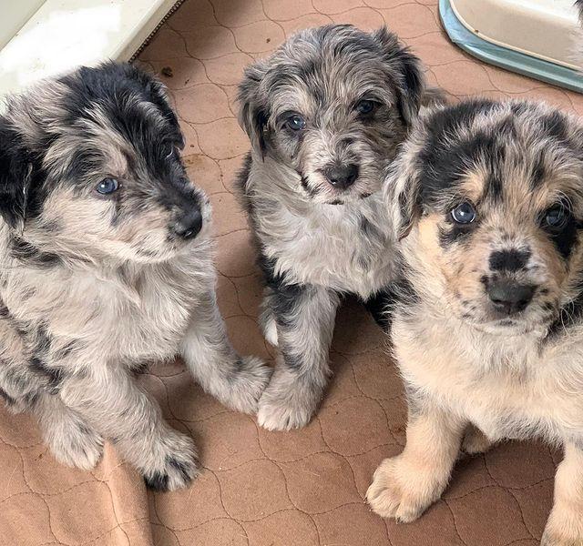 Three cute German Shepherd Poodle mix puppies