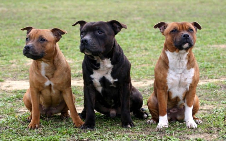 Three Staffordshire Bull Terrier dogs