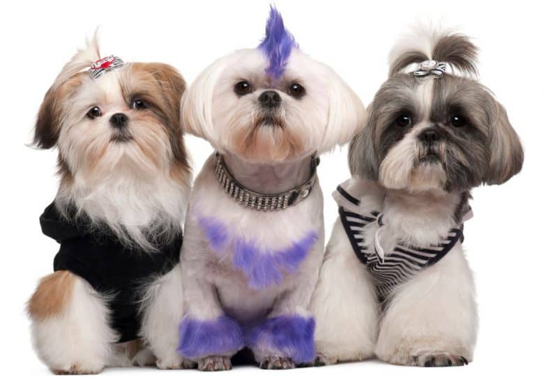 Three dressed up Shih Tzu dogs
