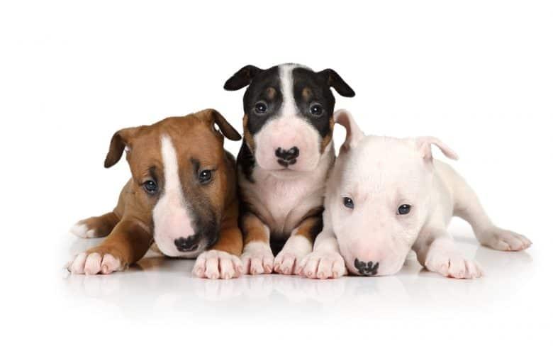 Behave three Mini Bull Terrier puppies